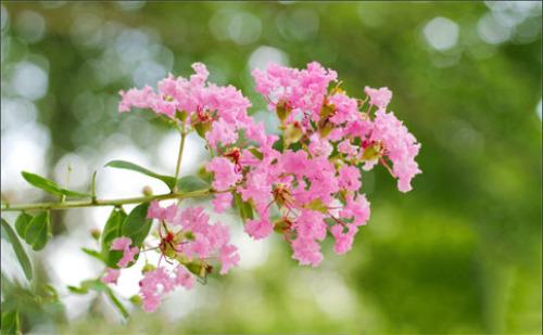 紫薇花又添新品种