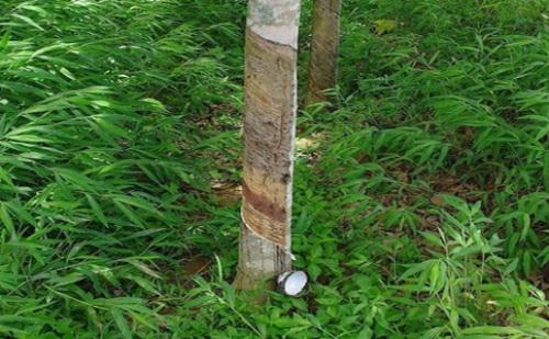泰国橡胶供应异常原因分析