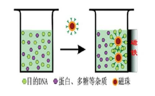 磁珠法核酸提取裂解液的作用原理