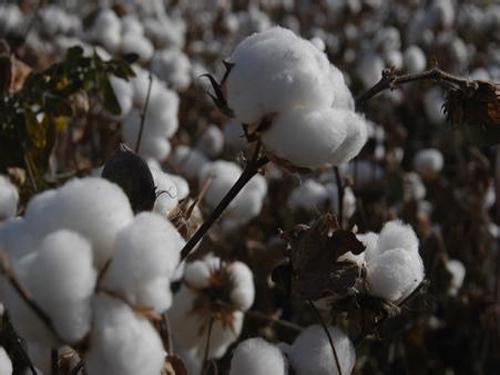 棉花种植适宜的密度是多少?