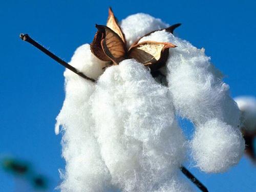 降低存款準備金率有助棉花市場