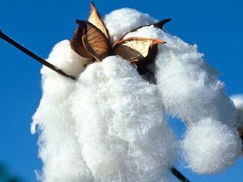 临泽县首次对棉花生产实施补贴