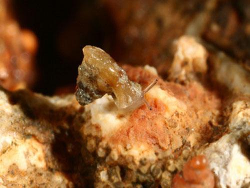 台湾发现蜗牛新物种