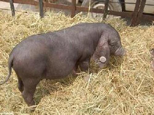 猪价将继续保持小幅上涨
