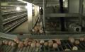 自動化層疊式蛋雞籠養設備——規模化養雞的首先設備