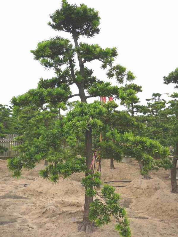 台湾罗汉松庭院树