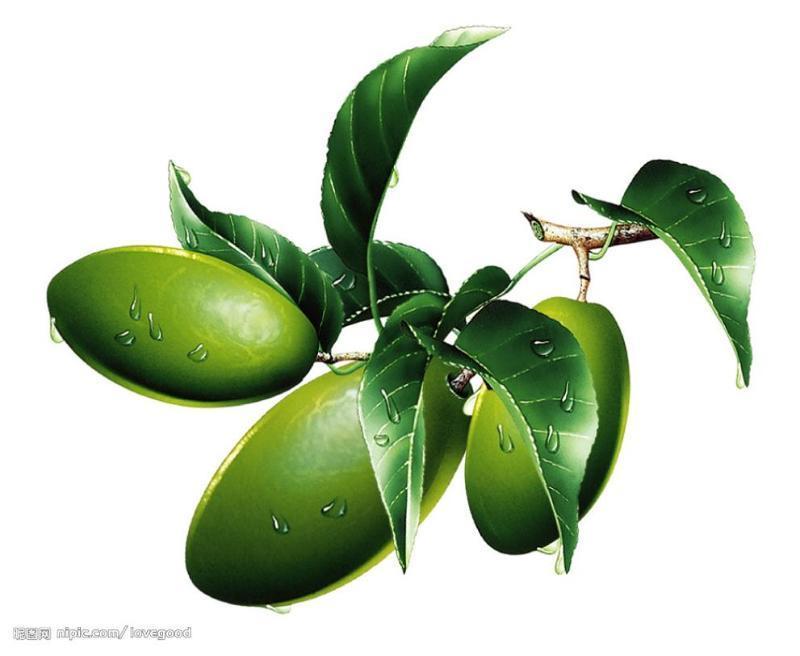 橄榄果的作用_橄榄促花保果