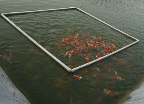 我公司现常年面向全国大量批发各类金鱼(鹤顶红,狮子头,红龙睛,黑龙睛