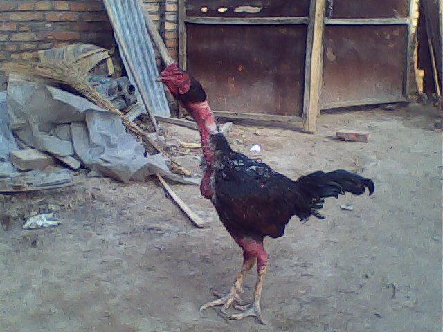 黑凤凰动物图片