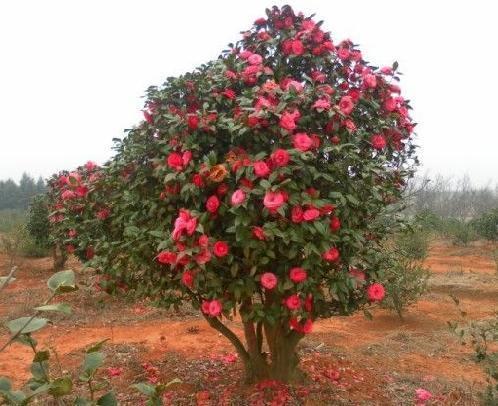 多年的油茶树嫁接