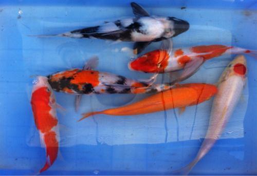 要给锦鲤鱼提供良好的生活环境以保证它健康成长