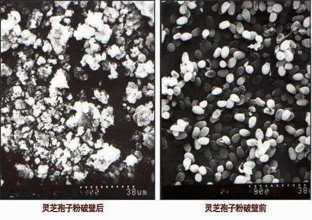 破壁灵芝孢子粉