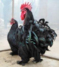 黑礹/&�yi)_黑绣球种鸡
