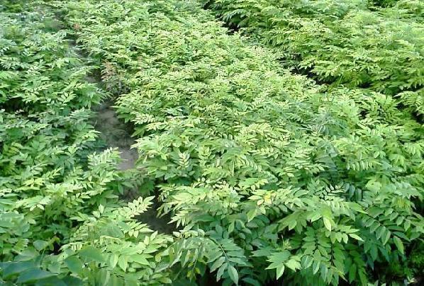 花草木栽培-在已有10多年种植珍树经验,现种植30多亩成材檀香林,除主要品种檀