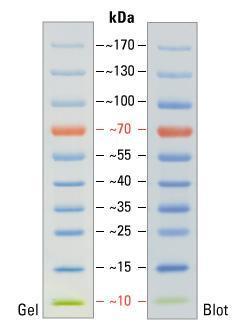 北京代理thermo 26616预染蛋白marker Ladder【批发价格,厂家,图片,采购】 中国制造网,北京明