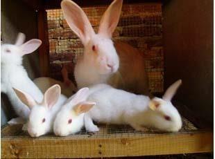 宠物兔子活体,纯种公主兔,熊猫兔子可爱白色小白兔,