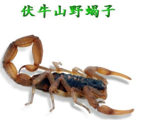 农业食品 畜禽及养殖动物 其它畜禽及养殖动物 蝎子