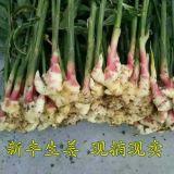 新丰温室生长最新季节嫩姜