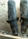 中秋送礼预藏香猪、藏香猪种猪纯种西藏林芝猪繁殖种母猪种公猪活体猪苗商品猪小仔猪包邮 江西藏香猪养殖基地