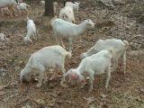 【越活草本】上海散養羊肉批發價格供應
