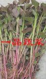 一品蔬菜紫地瓜苗厂家批发价格随行就市