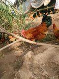 贵州土鸡苗;贵州土鸡价格;贵州绿壳蛋鸡苗养殖