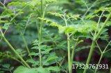 辣木是什么 辣木是蔬菜 重庆展禾辣木叶