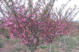 红梅树价格 2017年红梅树报价