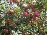 正苹优果早熟陕西嘎啦苹果原生态果园新鲜采摘60-75苹果装箱全国发货