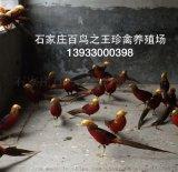 河北石家庄红腹锦鸡、白鹇、白冠长尾雉