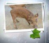 小野猪种猪