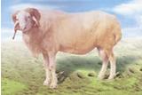 供应小尾寒羊 杜泊绵羊 黑山羊