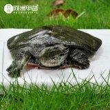 【河洲甲鱼】连云港野生甲鱼批发|中华鳖苗养殖