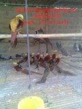 特禽養殖,紅腹錦雞養殖