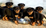 肉狗幼崽價格 肉狗多少錢一組