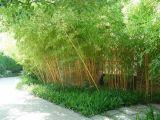 苗圃直供高档园林绿化竹苗四季竹