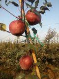 全红梨树苗 奥红一号梨苗 梨树苗新品种