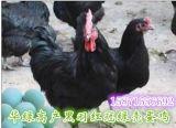江苏麻羽绿壳蛋鸡、江苏黑羽绿壳蛋鸡苗价格、江苏绿壳蛋鸡母苗、江苏经济型绿壳蛋黑鸡由湖北华绿生态农业开发有限公司提供应