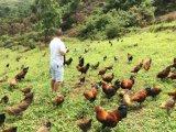万物生散养无公害土鸡
