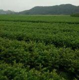 广西杉木苗价格速生杉木苗供应图片