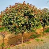 独杆红叶石楠球高度60分枝点冠幅优美沭阳本地高杆红叶石楠球