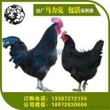 东莞、汕头、湛江、梅州、揭阳、肇庆五黑鸡绿壳蛋鸡到湖北祖元