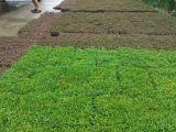 開封市晟諾園藝專業五色草種植各種今天銷售