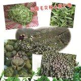 茶叶籽批发茶叶种子厂家绿茶籽大量供应