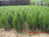 批发北方造林苗木 品种齐规格全 西安侧柏