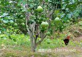 红心柚子苗多少钱一棵,红心柚子苗价格