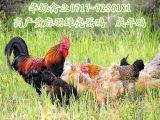 湖北雞苗熱銷麻羽綠殼蛋雞苗混苗年產蛋兩百八十枚適合散養放養