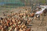 舌尖上的中国【越活草本】1年散养土鸡散养草鸡批发价格供应
