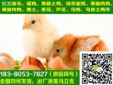 遂寧黑瑤雞苗銷售,黑瑤雞苗科學養殖,空運,抗病能力強,98%的存活率