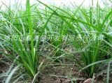 湖南长沙绿化麦冬草|基地批发